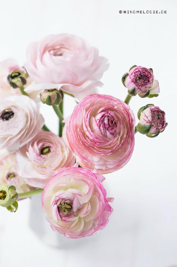 Ranunkeln Blumen Rosa Pink