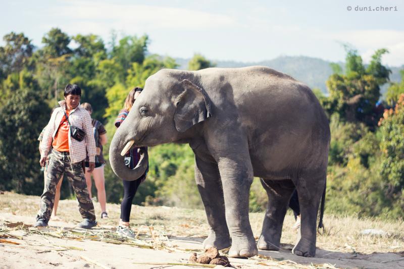 thailand elefanten tour asiatischer elefant