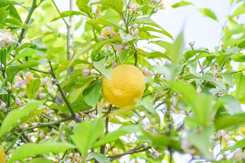 Griechenland Reise Zitronenbaum