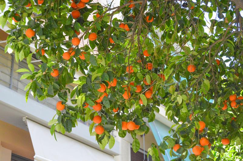 schlechter austrieb orangenbaum
