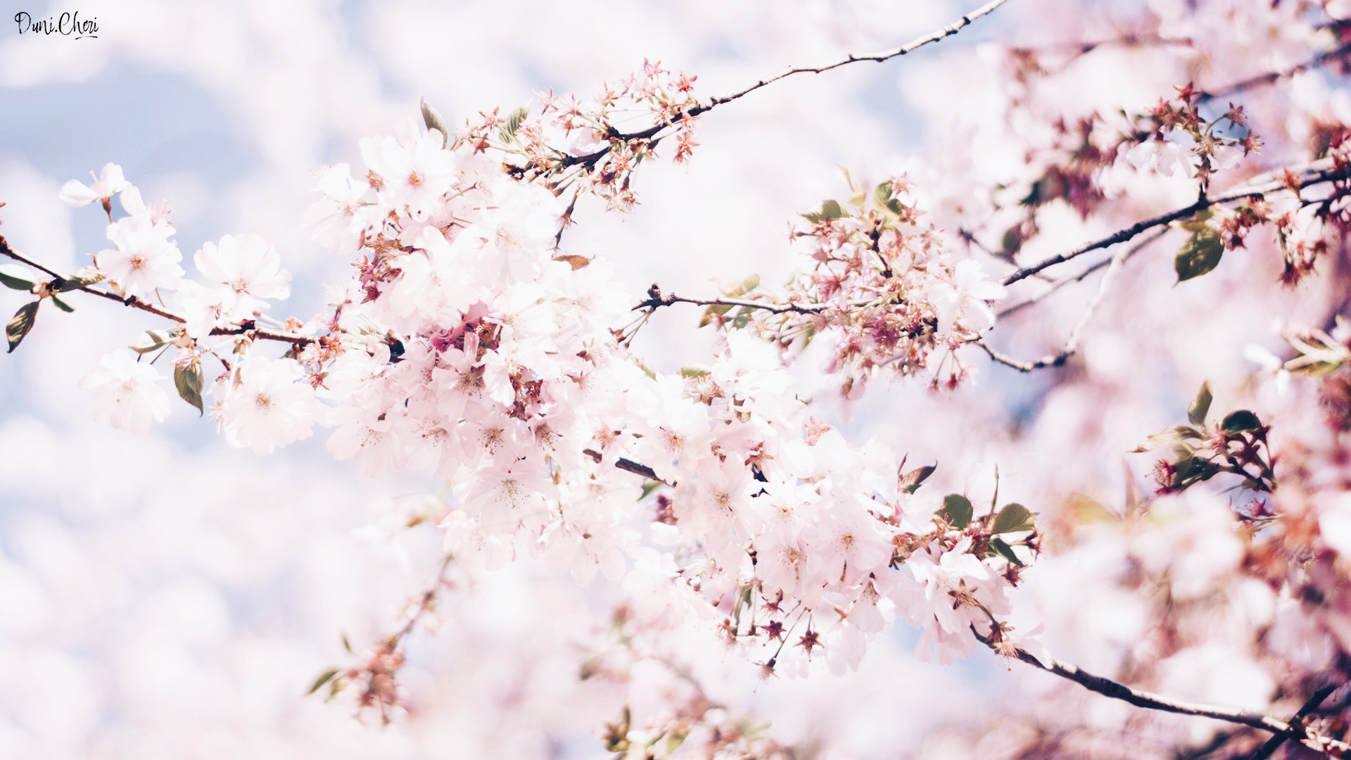 flower wallpaper cherry blossom wallpaperdesktop