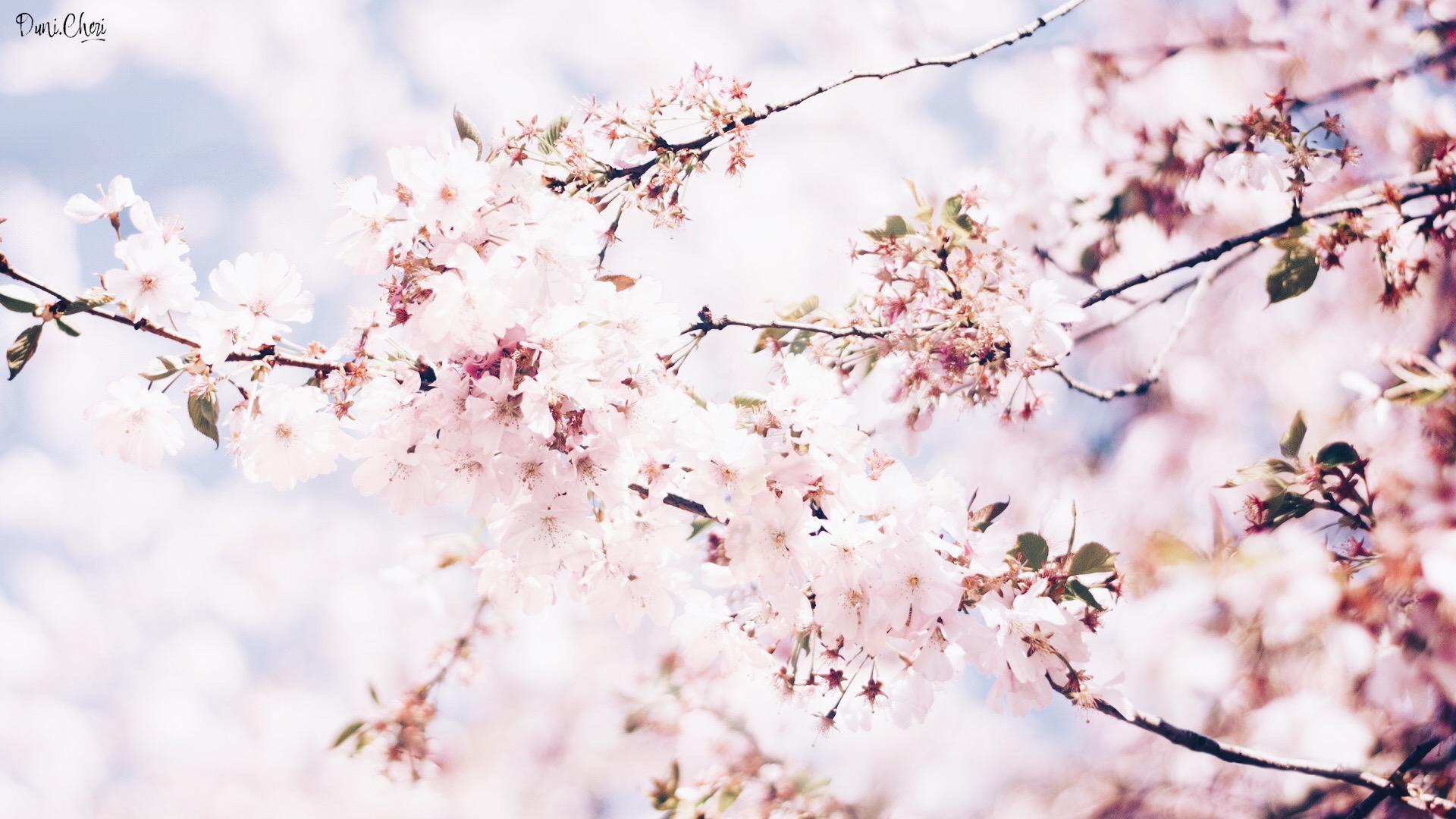 cherry blossom wallpaperdesktop