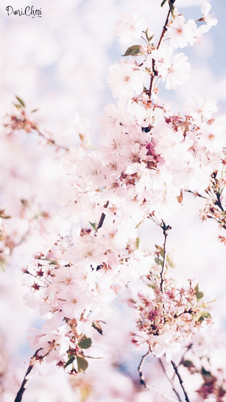 flower wallpaper cherry blossom wallpapermobile