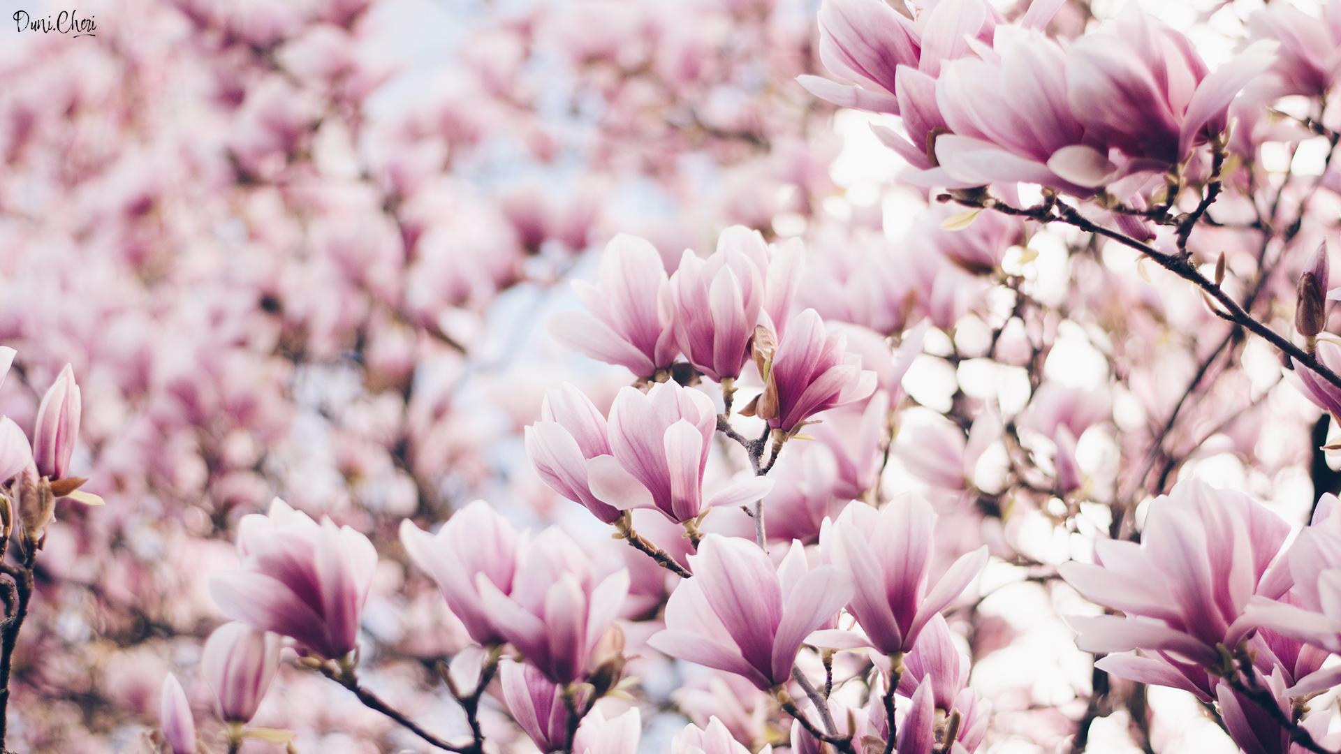 magnolia wallpaper pink desktop