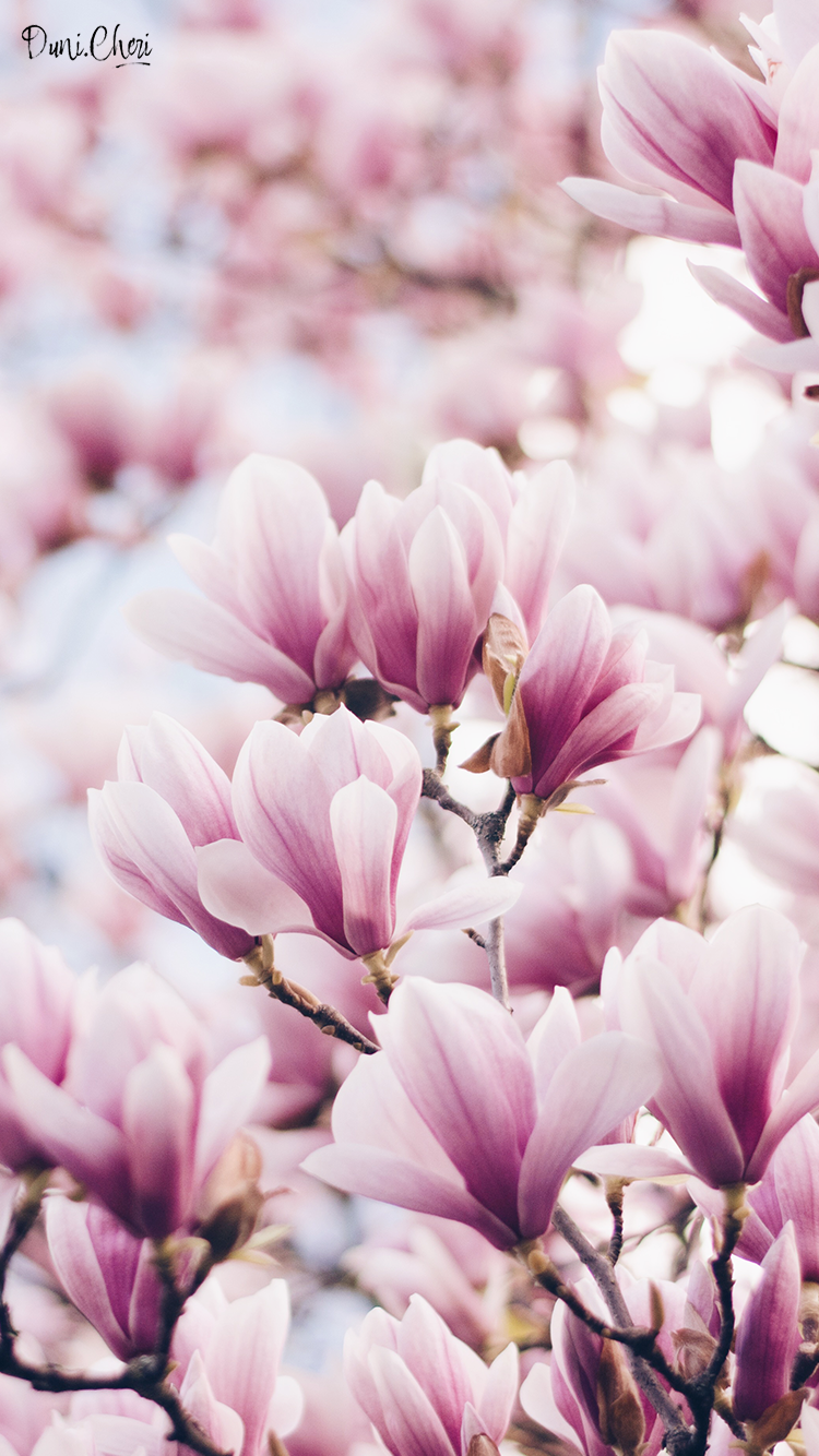 flower wallpaper magnolia wallpaper pink mobile