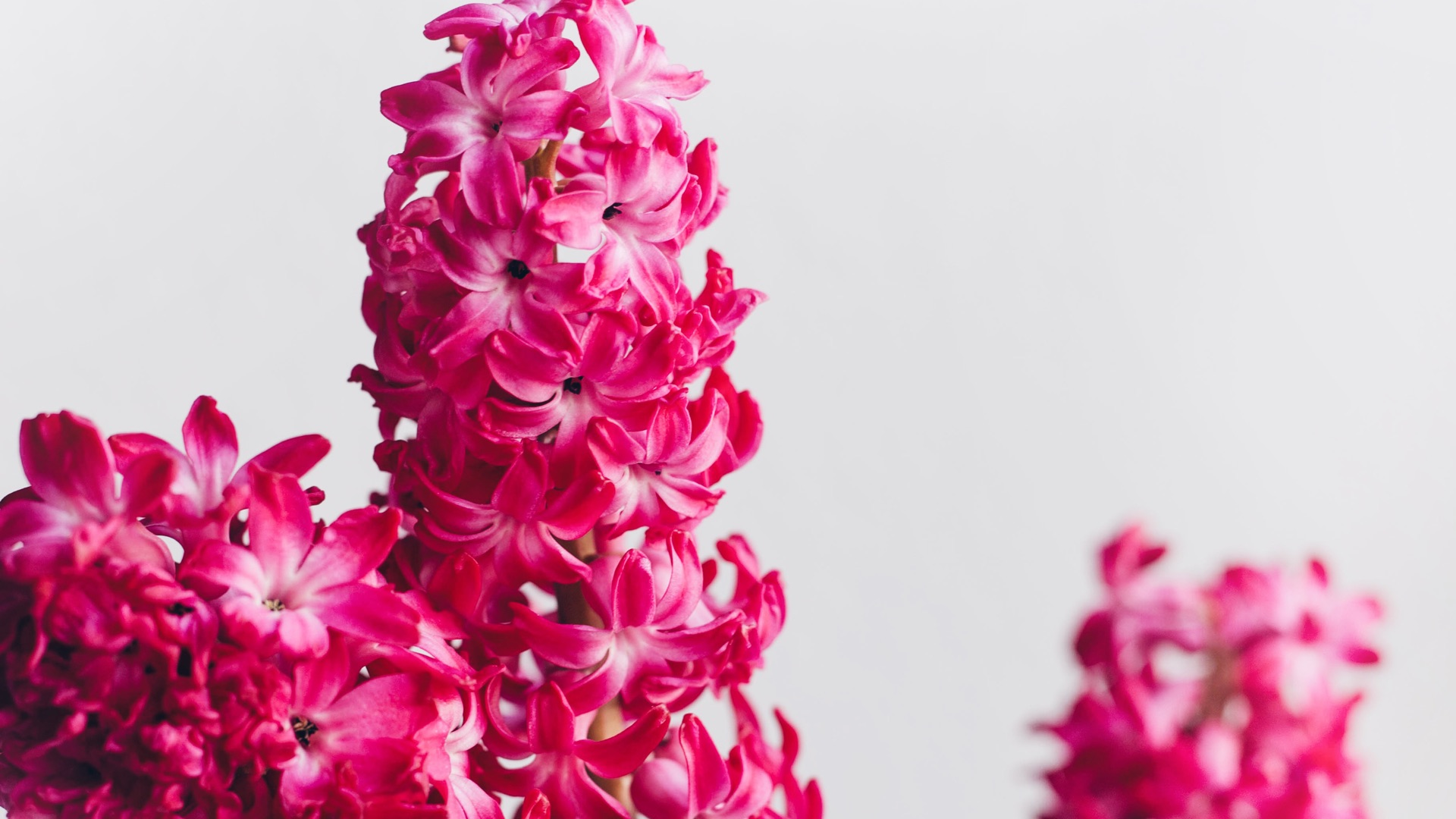 free desktop wallpaper pink hyazinthen