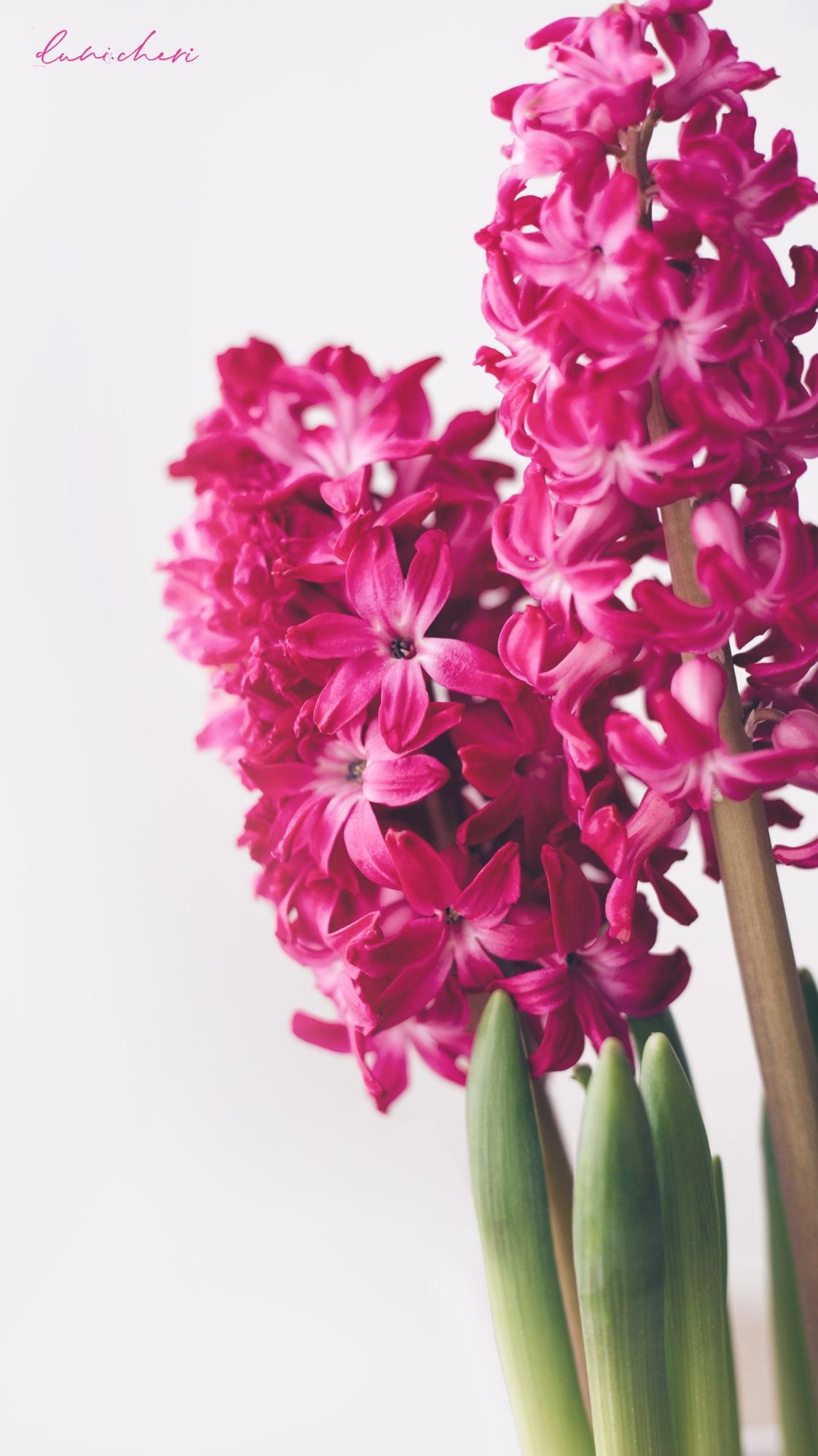 free mobil wallpaper hyazinthen pink