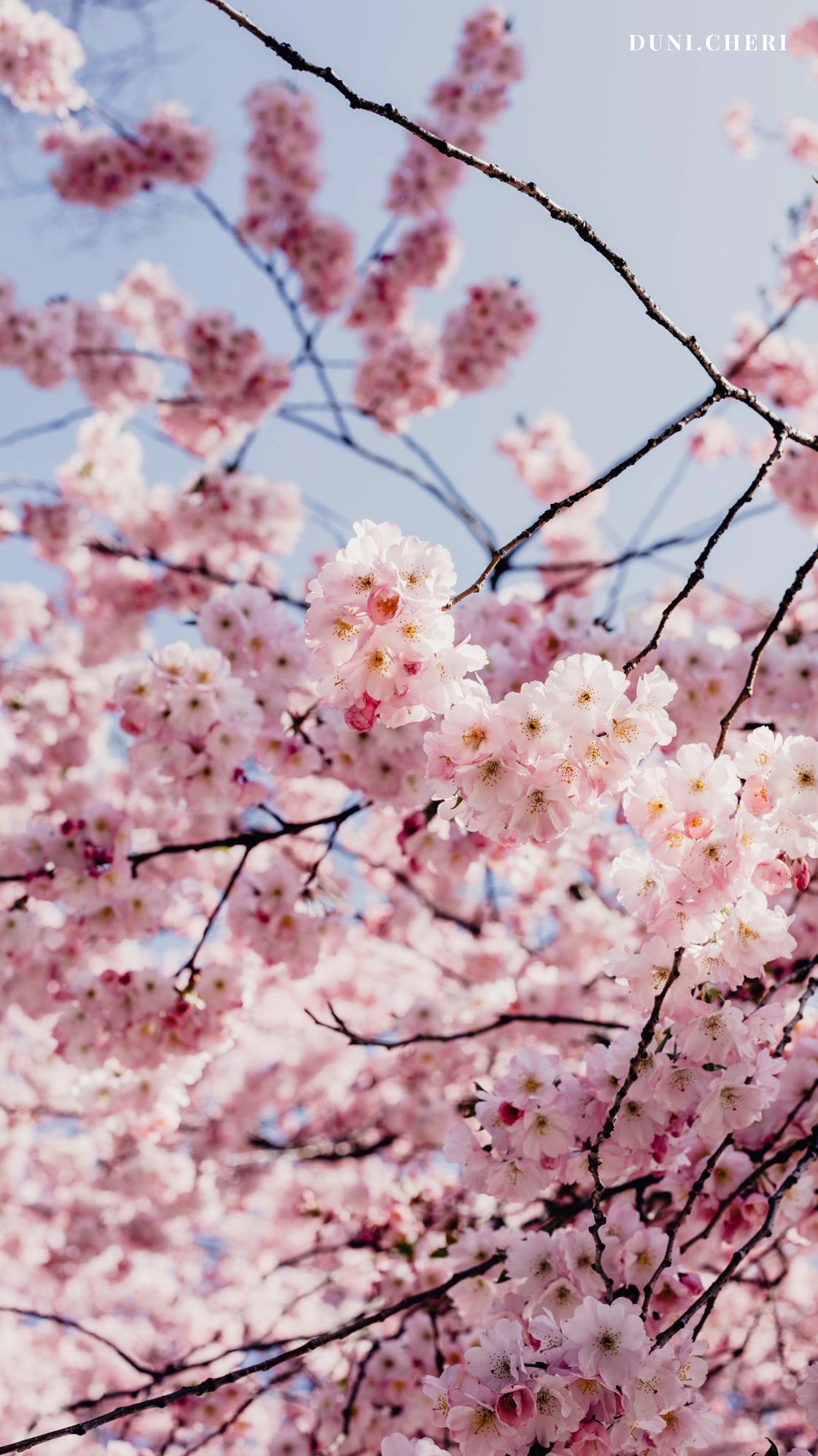 hanami cherry blossom wallpape kostenlos