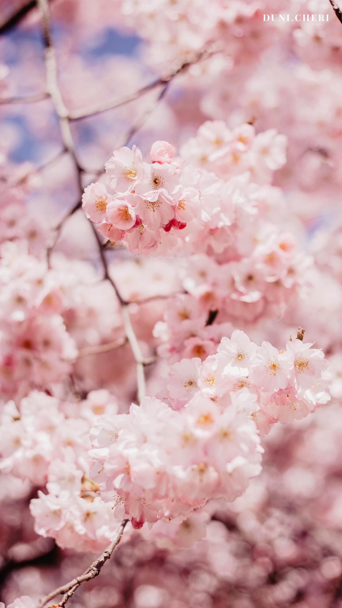 kirschblüten wallpaper free