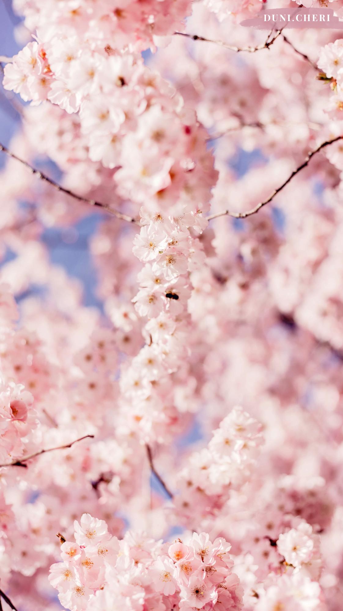 hanami cherry blossom wallpaper kostenlos
