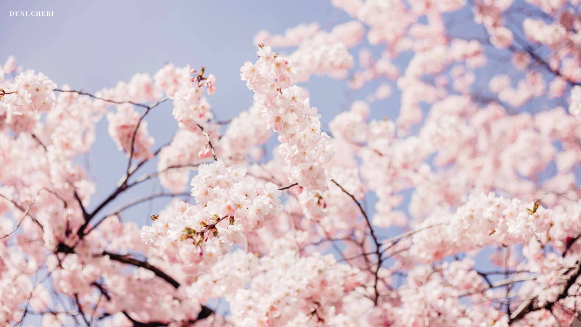 hanami kirschblüten wallpaper free