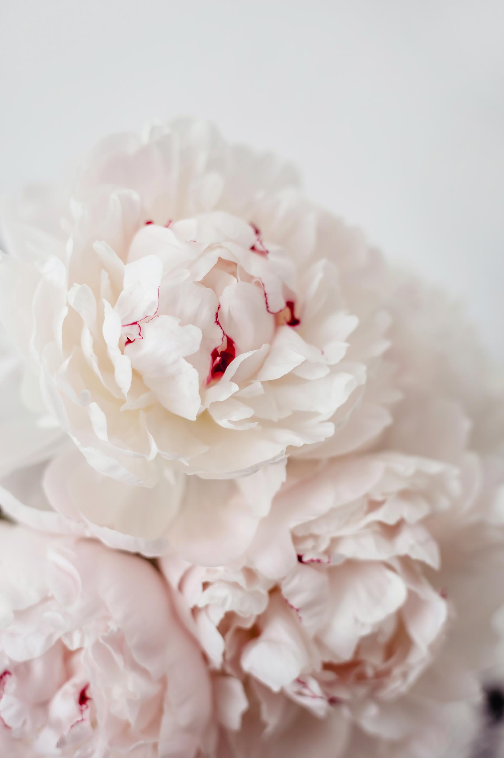 pfingstrosen weiss rosa