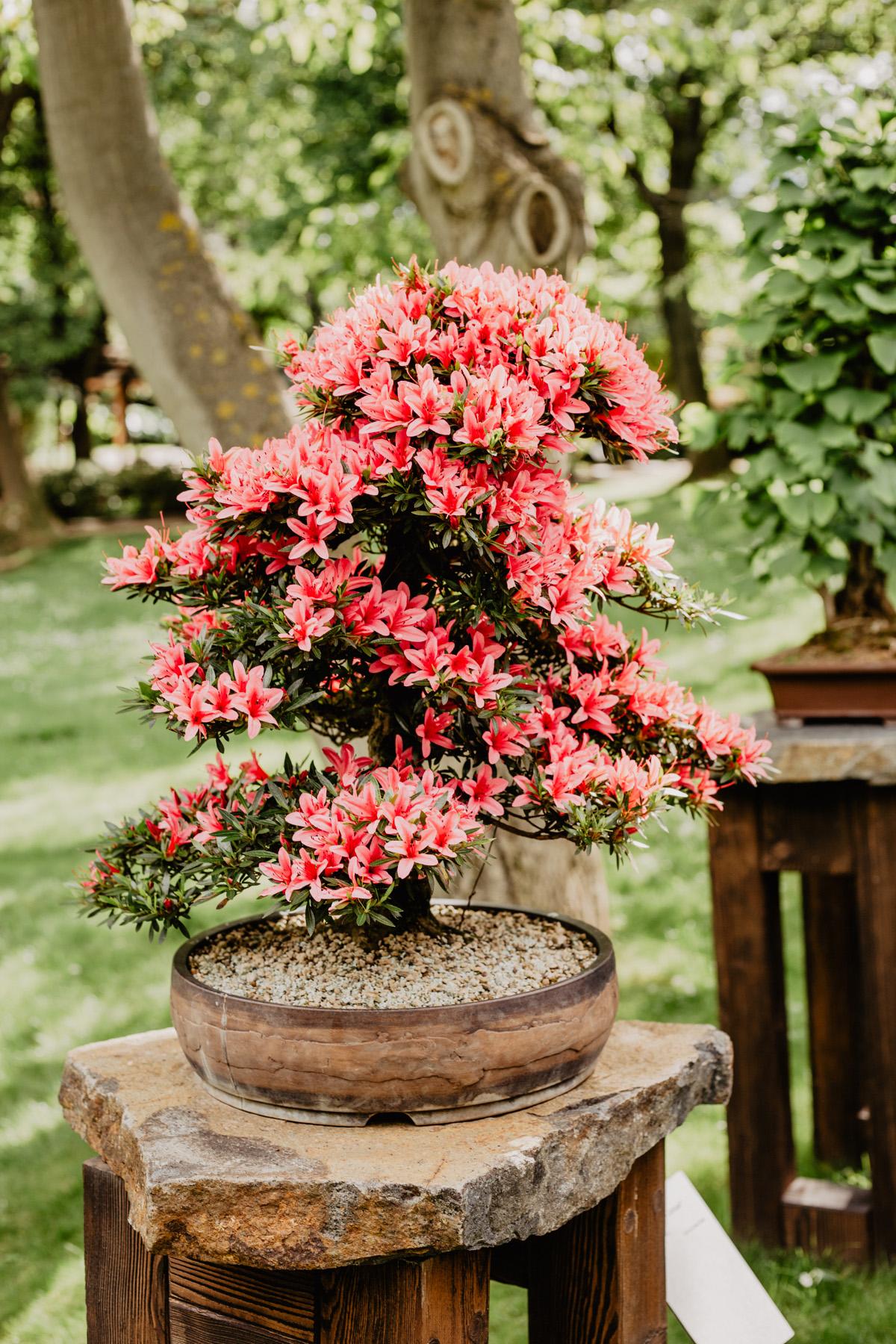 japanischer garten pink bonsai