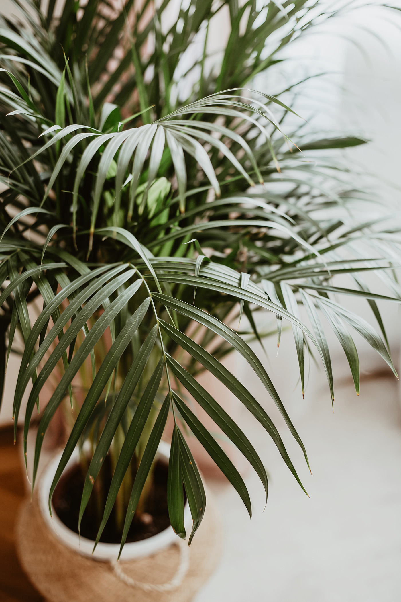 wohnzimmer pflanze palme wohlbefinden