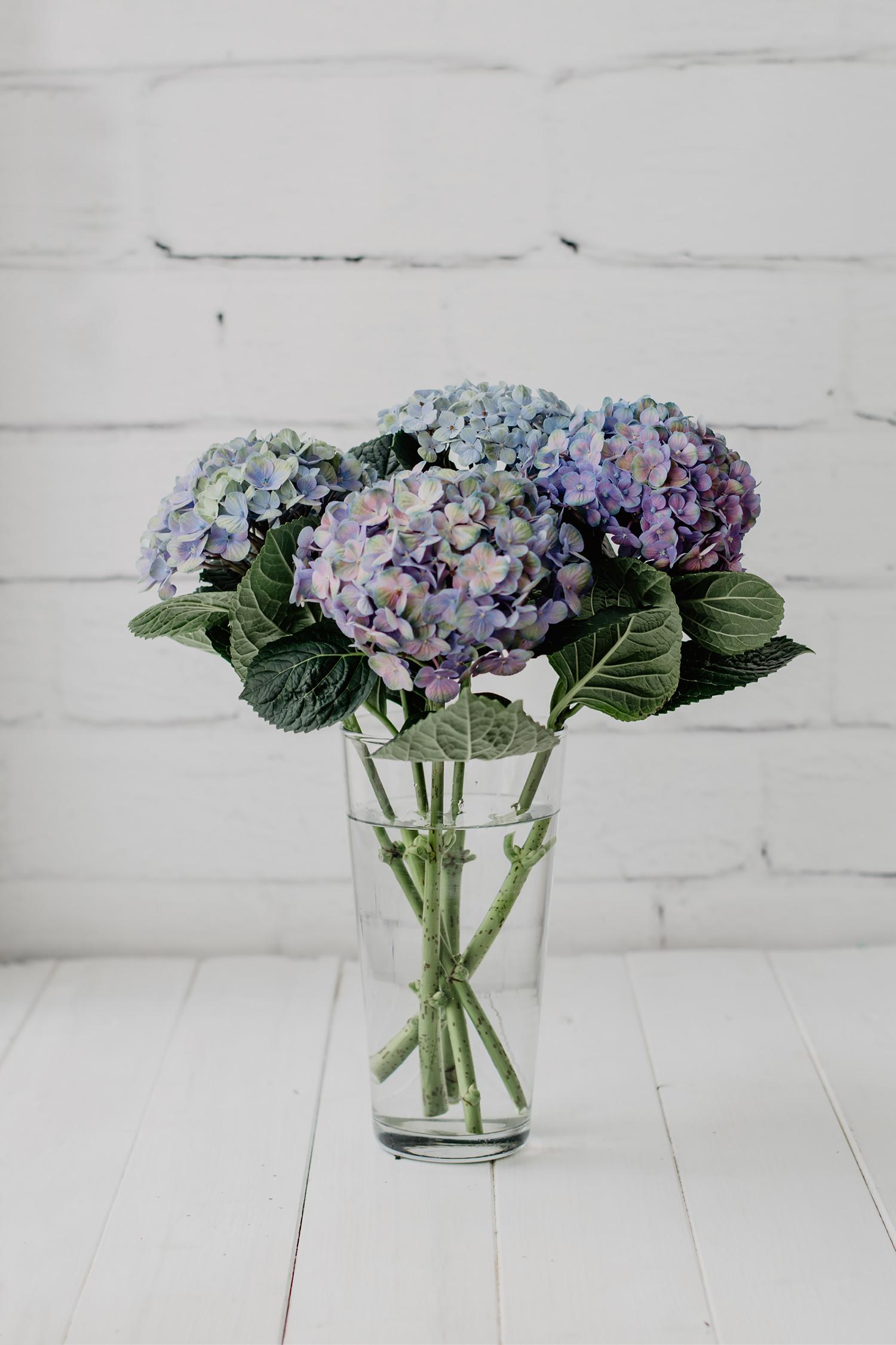 hortensien blau lila