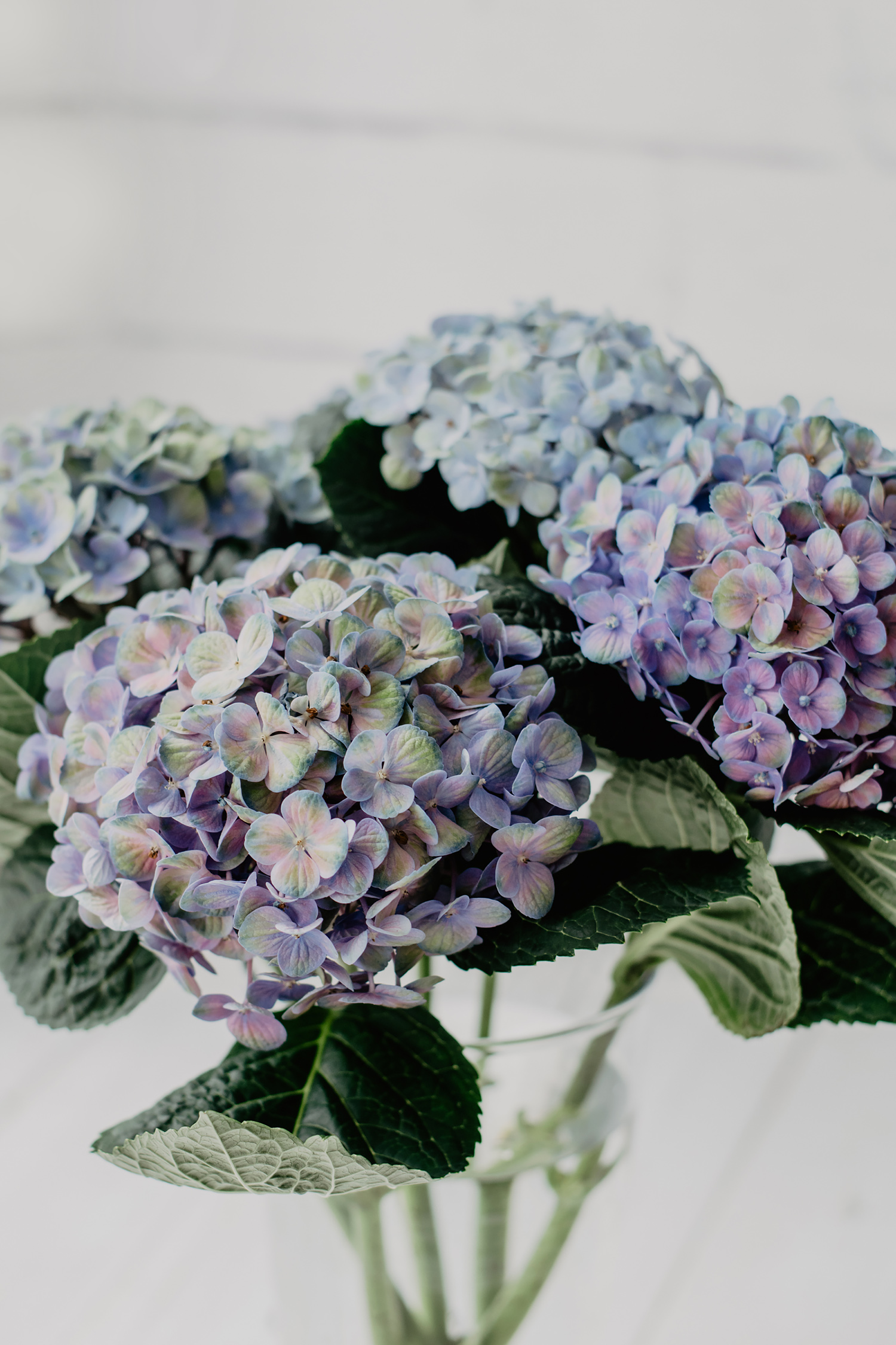 hortensien blau violett